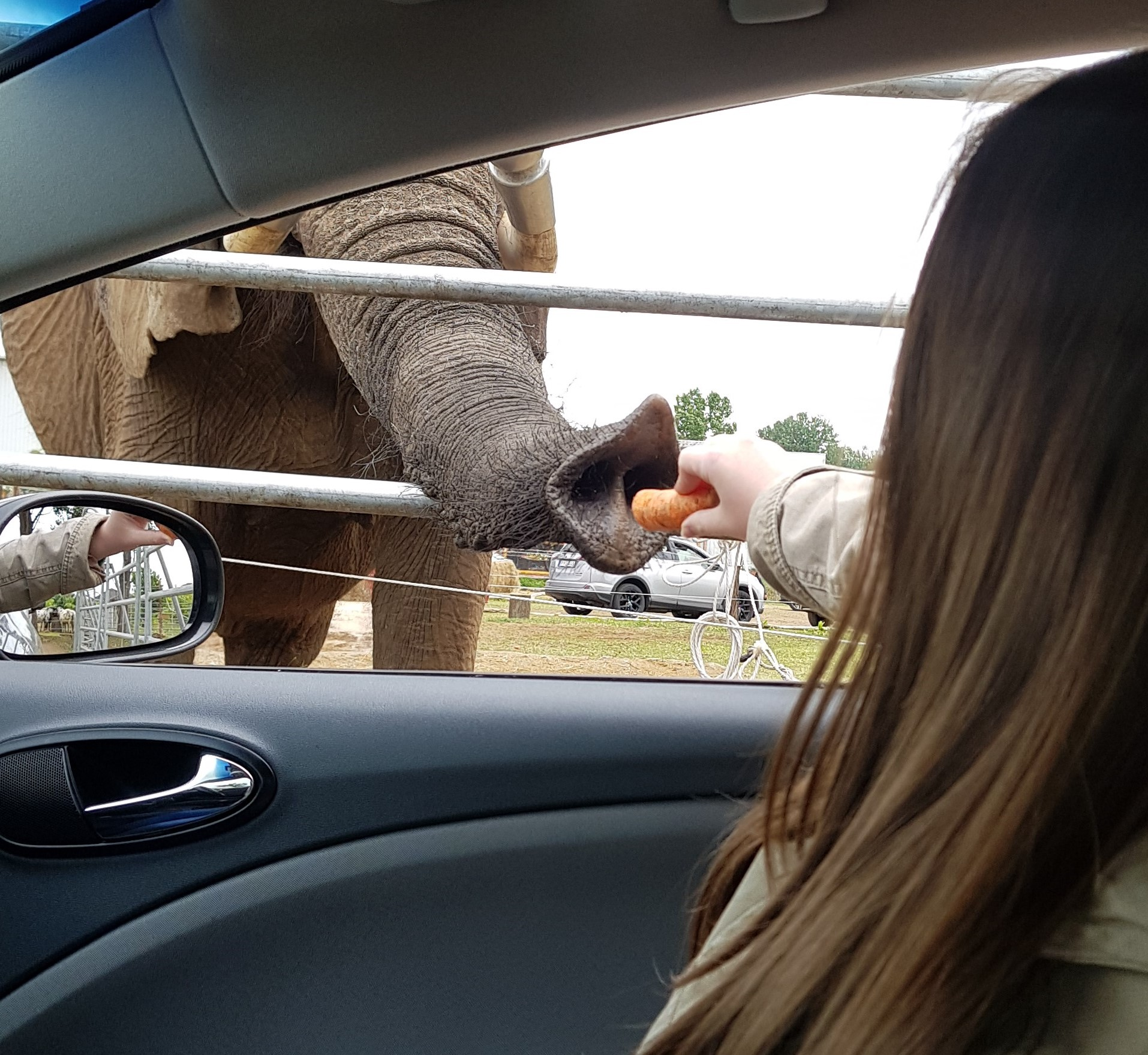 Safari park Szada elephant feeding 1